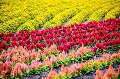 Ζωηρόχρωμες σειρές του κήπου λουλουδιών Στοκ Εικόνα