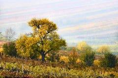 Ζωηρόχρωμες σειρές των αμπελώνων το φθινόπωρο κίτρινο δέντρο στην ομίχλη μεταξύ των αμπελώνων Φυσικό τοπίο φθινοπώρου της νότιας  Στοκ Εικόνα