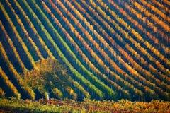 Ζωηρόχρωμες σειρές των αμπελώνων το φθινόπωρο Πράσινο μόνο δέντρο μεταξύ των αμπελώνων Φυσικό τοπίο φθινοπώρου της νότιας Μοραβία Στοκ φωτογραφίες με δικαίωμα ελεύθερης χρήσης
