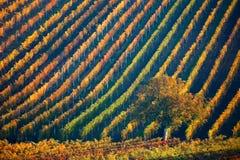 Ζωηρόχρωμες σειρές των αμπελώνων το φθινόπωρο Πράσινο μόνο δέντρο μεταξύ των αμπελώνων Φυσικό τοπίο φθινοπώρου της νότιας Μοραβία Στοκ φωτογραφία με δικαίωμα ελεύθερης χρήσης