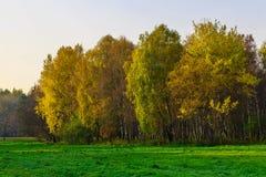 Ζωηρόχρωμες σημύδες στο χορτοτάπητα στο χρόνο φθινοπώρου Στοκ Φωτογραφία