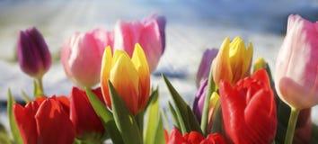 Ζωηρόχρωμες τουλίπες στον ήλιο Στοκ φωτογραφίες με δικαίωμα ελεύθερης χρήσης