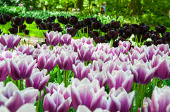 Ζωηρόχρωμες τουλίπες στον κήπο Keukenhof, Κάτω Χώρες της Ολλανδίας Στοκ φωτογραφίες με δικαίωμα ελεύθερης χρήσης