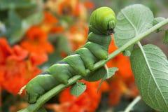 Ζωηρόχρωμες canterpillar εγκαταστάσεις πατατών κατανάλωσης στοκ φωτογραφία
