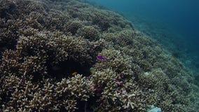 Ζωηρόχρωμη άθικτη κοραλλιογενής ύφαλος με τα σκληρά κοράλλια acropora, απόθεμα βίντεο