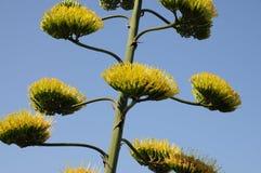 Ζωηρόχρωμη άποψη εγκαταστάσεων λουλουδιών αγαύης σε Ibiza Βαλεαρίδες Νήσοι στοκ εικόνα με δικαίωμα ελεύθερης χρήσης