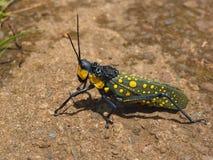 Ζωηρόχρωμη ακρίδα στο ubud, Μπαλί Στοκ Φωτογραφία