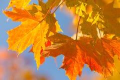 Ζωηρόχρωμη ανασκόπηση φθινοπώρου των φύλλων σφενδάμου Στοκ Εικόνες