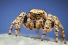 Ζωηρόχρωμη αράχνη άλματος hoyi Evarcha Στοκ Φωτογραφία