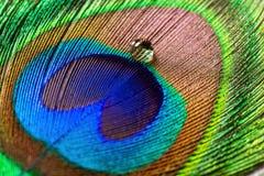 Ζωηρόχρωμη επενδυμένη με φτερά ουρά του αρσενικού peacock με τη σταλαγματιά στοκ εικόνες