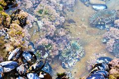 Ζωηρόχρωμη ζωή θάλασσας κατά τη διάρκεια της χαμηλής παλίρροιας Anemone και μυ'ες θάλασσας Νότια βιοποικιλότητα Καλιφόρνιας Στοκ φωτογραφίες με δικαίωμα ελεύθερης χρήσης