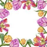 Ζωηρόχρωμη θερινή τουλίπα Floral βοτανικό λουλούδι Τετράγωνο διακοσμήσεων συνόρων πλαισίων Στοκ εικόνες με δικαίωμα ελεύθερης χρήσης