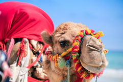 Ζωηρόχρωμη καμήλα στην παραλία Στοκ φωτογραφία με δικαίωμα ελεύθερης χρήσης