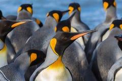 Ζωηρόχρωμη κινηματογράφηση σε πρώτο πλάνο βασιλιάδων penguin Στοκ φωτογραφία με δικαίωμα ελεύθερης χρήσης