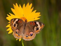 Ζωηρόχρωμη κοινή πεταλούδα Buckeye Στοκ Φωτογραφία