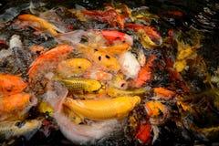 Ζωηρόχρωμη κολύμβηση ψαριών κυπρίνων ή Koi κλήσης ψαριών της Ταϊλάνδης στο pon Στοκ φωτογραφίες με δικαίωμα ελεύθερης χρήσης