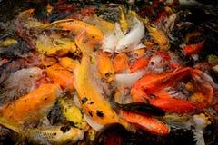 Ζωηρόχρωμη κολύμβηση ψαριών κυπρίνων ή Koi κλήσης ψαριών της Ταϊλάνδης στο pon Στοκ φωτογραφία με δικαίωμα ελεύθερης χρήσης