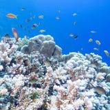 Ζωηρόχρωμη κοραλλιογενής ύφαλος με το κοπάδι των anthias ψαριών scalefin στην τροπική θάλασσα Στοκ Φωτογραφίες