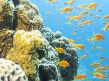 Ζωηρόχρωμη κοραλλιογενής ύφαλος με το κοπάδι των anthias ψαριών scalefin στο κατώτατο σημείο της τροπικής θάλασσας Στοκ φωτογραφία με δικαίωμα ελεύθερης χρήσης