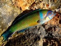 Ζωηρόχρωμη κοραλλιών ταπετσαρία υποβάθρου ψαριών μακρο στοκ εικόνες με δικαίωμα ελεύθερης χρήσης