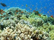 Ζωηρόχρωμη κοραλλιογενής ύφαλος με τα anthias ψαριών στην τροπική θάλασσα, υποβρύχια Στοκ φωτογραφία με δικαίωμα ελεύθερης χρήσης