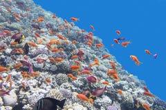 Ζωηρόχρωμη κοραλλιογενής ύφαλος με τα anthias ψαριών στην τροπική θάλασσα, υποβρύχια Στοκ Φωτογραφίες