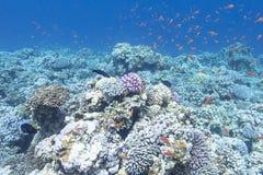 Ζωηρόχρωμη κοραλλιογενής ύφαλος με το κοπάδι των anthias ψαριών στην τροπική θάλασσα Στοκ Εικόνες