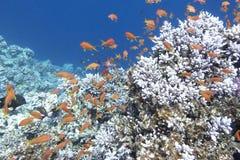 Ζωηρόχρωμη κοραλλιογενής ύφαλος με το κοπάδι των anthias ψαριών στην τροπική θάλασσα Στοκ Εικόνα