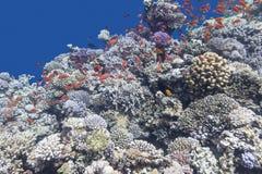 Ζωηρόχρωμη κοραλλιογενής ύφαλος με το κοπάδι των anthias ψαριών, υποβρύχιο Στοκ φωτογραφίες με δικαίωμα ελεύθερης χρήσης