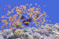 Ζωηρόχρωμη κοραλλιογενής ύφαλος με το κοπάδι των anthias ψαριών scalefin στην τροπική θάλασσα Στοκ φωτογραφίες με δικαίωμα ελεύθερης χρήσης
