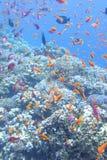 Ζωηρόχρωμη κοραλλιογενής ύφαλος με το κοπάδι των anthias ψαριών scalefin στην τροπική θάλασσα Στοκ Εικόνες