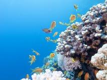 Ζωηρόχρωμη κοραλλιογενής ύφαλος με το κοπάδι των anthias ψαριών scalefin στην τροπική θάλασσα Στοκ φωτογραφία με δικαίωμα ελεύθερης χρήσης