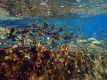 Ζωηρόχρωμη κοραλλιογενής ύφαλος με το κοπάδι των anthias ψαριών scalefin στο tro Στοκ Φωτογραφίες