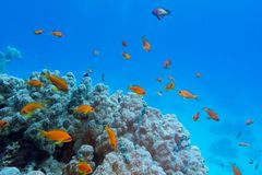 Ζωηρόχρωμη κοραλλιογενής ύφαλος με το σκληρό κοράλλι και εξωτικά ψάρια στο κατώτατο σημείο της τροπικής θάλασσας Στοκ Εικόνα