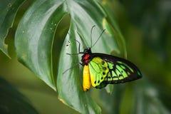 Ζωηρόχρωμη κόκκινη κίτρινη και πράσινη συνεδρίαση πεταλούδων σε ένα πράσινο φύλλο στοκ φωτογραφία