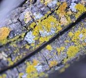 ζωηρόχρωμη λειχήνα Στοκ Φωτογραφίες