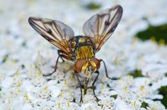 Ζωηρόχρωμη μύγα στα λουλούδια Στοκ εικόνες με δικαίωμα ελεύθερης χρήσης