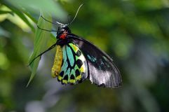 Ζωηρόχρωμη πεταλούδα σε ένα φύλλο Στοκ Φωτογραφίες