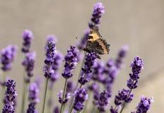 Ζωηρόχρωμη πεταλούδα στα ανθίζοντας lavender λουλούδια Στοκ εικόνες με δικαίωμα ελεύθερης χρήσης