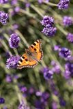 Ζωηρόχρωμη πεταλούδα στα ανθίζοντας lavender λουλούδια Στοκ Εικόνες