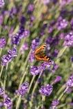 Ζωηρόχρωμη πεταλούδα στα ανθίζοντας lavender λουλούδια Στοκ Φωτογραφίες
