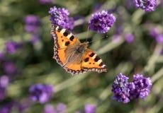 Ζωηρόχρωμη πεταλούδα στα ανθίζοντας lavender λουλούδια Στοκ Φωτογραφία