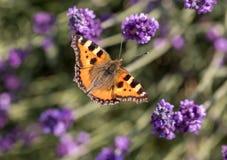 Ζωηρόχρωμη πεταλούδα στα ανθίζοντας lavender λουλούδια Στοκ φωτογραφία με δικαίωμα ελεύθερης χρήσης