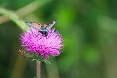 Ζωηρόχρωμη πεταλούδα στο λουλούδι κάρδων στο φυσικό πάρκο Val δ ` Aveto - Λιγυρία - Ιταλία στοκ φωτογραφία
