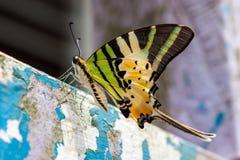 Ζωηρόχρωμη πεταλούδα Bornean Στοκ Φωτογραφίες