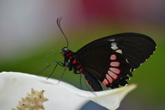 Ζωηρόχρωμη πεταλούδα Στοκ φωτογραφία με δικαίωμα ελεύθερης χρήσης