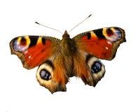 Ζωηρόχρωμη πεταλούδα Peacock Στοκ Φωτογραφίες