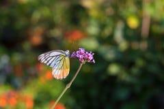 Ζωηρόχρωμη πεταλούδα Verbena στο λουλούδι Στοκ Εικόνες