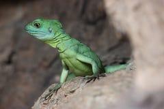 ζωηρόχρωμη πράσινη σαύρα βα&sigm στοκ φωτογραφία με δικαίωμα ελεύθερης χρήσης