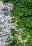 Ζωηρόχρωμη πράσινη σύσταση βρύου Φωτογραφία που απεικονίζει ένα φωτεινό θαμνώδες lich Στοκ Εικόνα